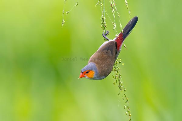 Waxbills and Canaries (4 Species)