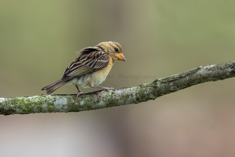 Baya Weaver (Female)