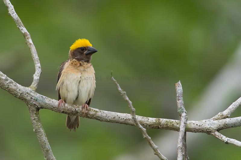 Baya Weaver (Male)