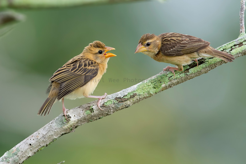 Baya Weaver (Female and Juvenile)