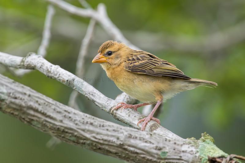 Baya Weaver (Juvenile)
