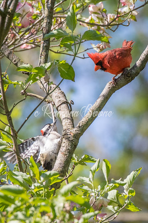 Downy Woodpecker and Cardinal