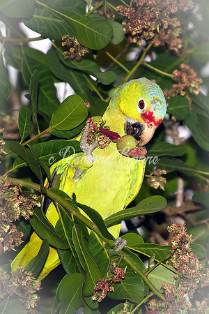 Amazon Parrot Eating from Cashew Tree