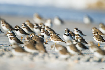 semipalmated plover_3335