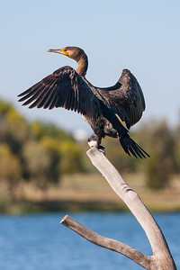 Great Cormorant wings out