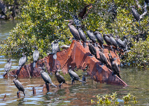 The Great Cormorant is the boss of these little black cormorants
