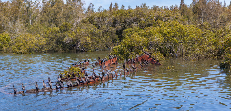 Panorama of Little black Cormorants