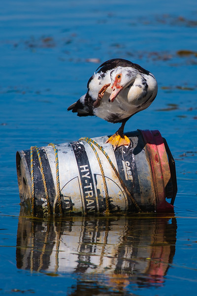 Muscovy Duck on oil drum at Yerrabi pond