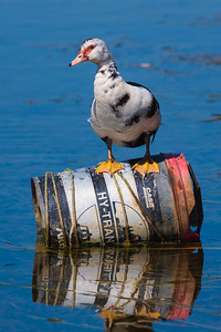 Muscovy Duck on oil drum at Yerrabi pond