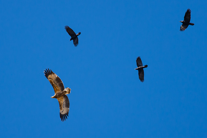 White-bellied Sea-Eagle attacked by Crows