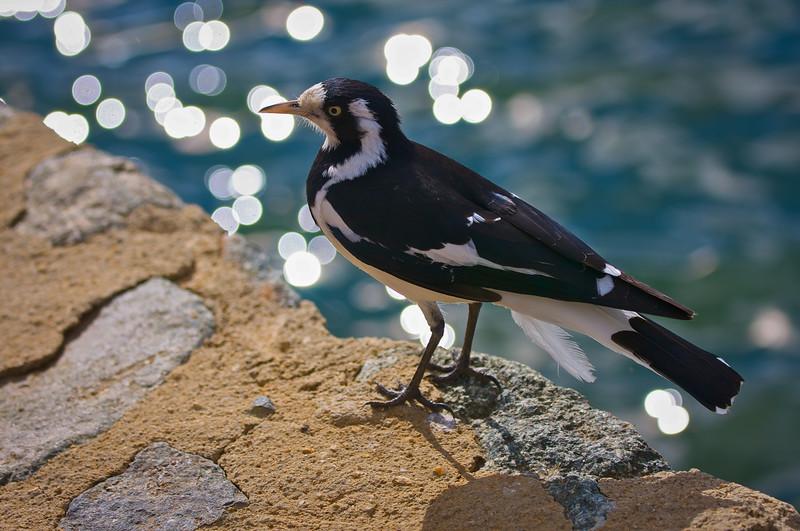 Magpie-lark Yerrabi Pond 2009