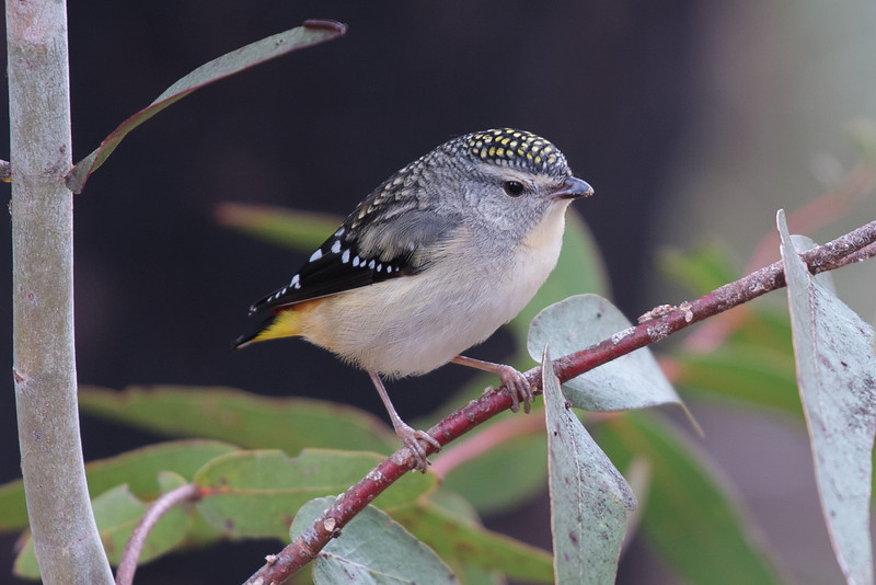 Spotted Pardalote (Lacks Yellow Throat)