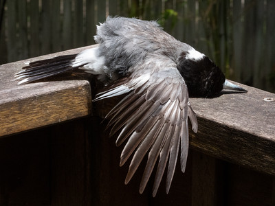 Mr Butcherbird Sunbathing