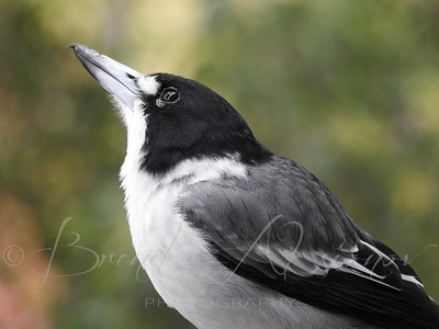 A Dapper Mr Butcherbird.