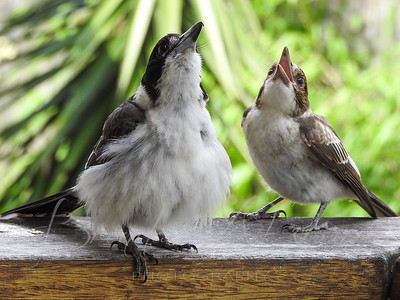 Mum Teaching Her Chick To Sing For Its Supper.