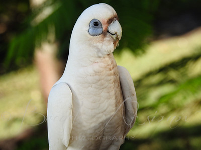 Eye To Eye With A Corella