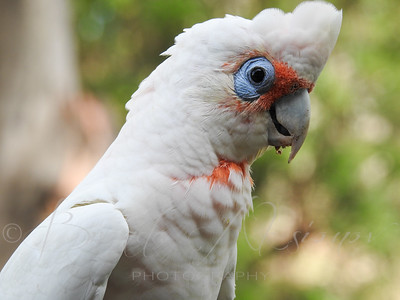 Coral Colour On A Corella