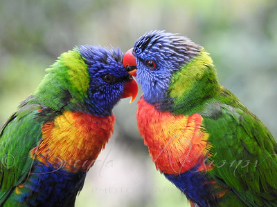 More Lorikeet Love.