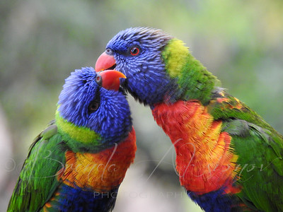 Lorikeet Love.