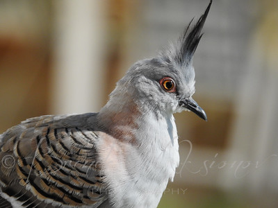 Crested Pigeon Portrait