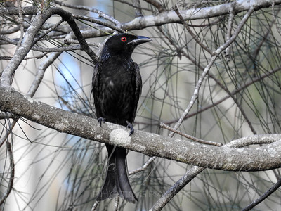 A Dishevelled Drongo