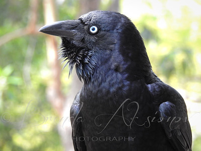 Portrait Of Mr Crow.