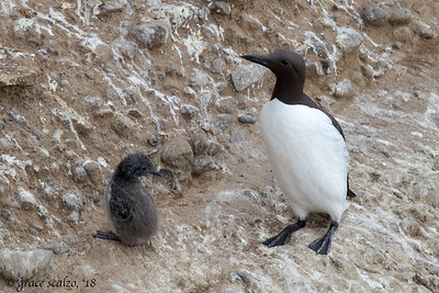 Common Murre and Chick