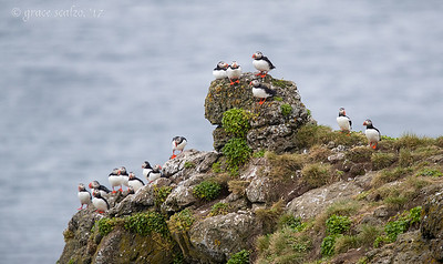 Atlantic puffins on cliff
