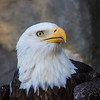 Bald Eagle==Providence Zoo