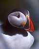 A Portrait of the Puffin as a Young Bird