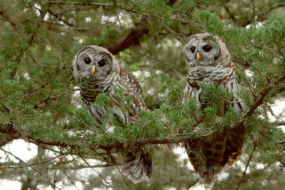 Pair of young Barred Owls in a cedar tree in the South Metro