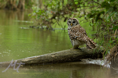 The barred Owl, seeing a fish in the water