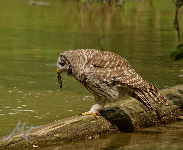 A barred owl, munching on a Bullhead fish