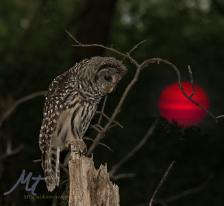 A young Barred owl, hunting in a smoky sunset. (composite image)
