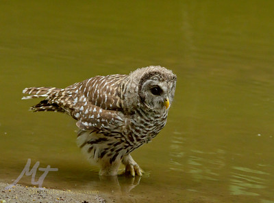 A young Barred owl stalking Bullheads and Frogs