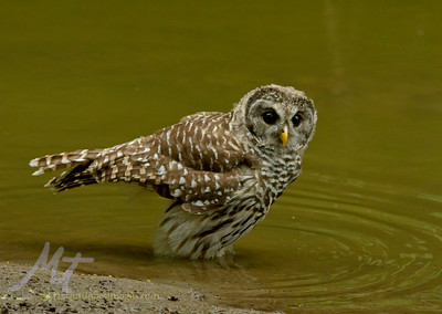 Barred owl youngster wading in a creek