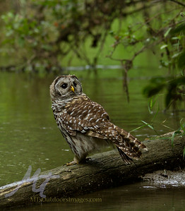 An owl on a log, by a river