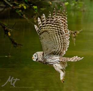 A young Barred owl, flying across the creek, after eating a Bullhead