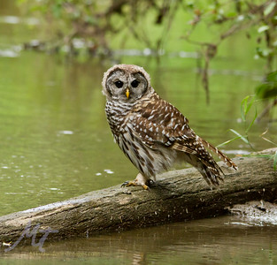 Barred owl on a log, looking for fish