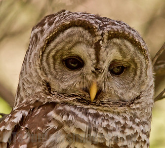 Barred Owl close up, south metro area June 2014