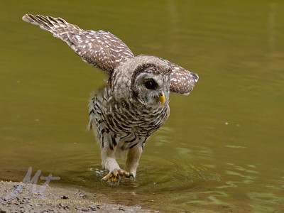 A young Barred Owl, looking for Bullheads