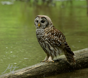 A Barred Owl chills on a log by the river