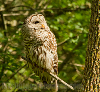 Barred Owl in the sun
