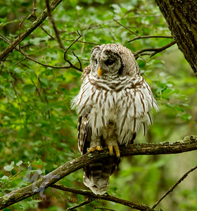 A Barred Owl with his feathers all fluffed out, kind of cool looking