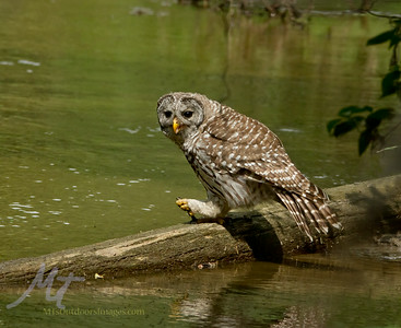Barred Owl, with a Bullhead fish