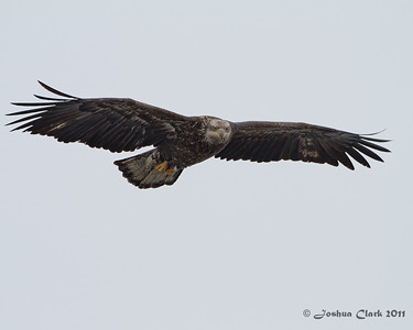 Juvenile Bald EagleLe Claire, Iowa