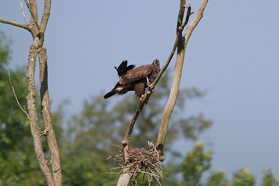 Juvenile Bald Eagle with Red Wing BlackbirdBrecksville Reservation, Ohio