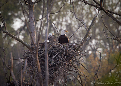 Bald Eagle pair Brecksville Reservation, Ohio
