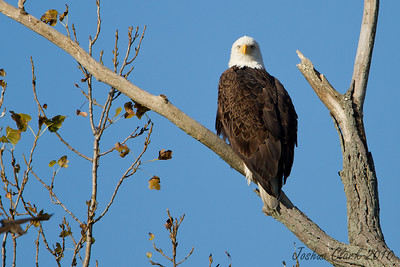 Perched Bald EagleSandy Ridge Reservation, Ohio