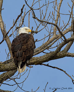 Bald EaglesLe Claire, Iowa